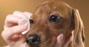 Köpeğin Gözleri Nasıl Temizlenir?