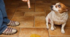 Köpeklerin İdrarı Nasıl Temizlenir?