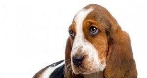 Köpek Kulağı Nasıl Temizlenir?