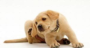 Köpekteki Pire Nasıl Temizlenir?