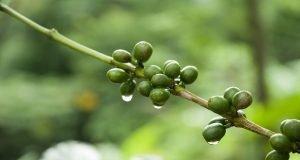 Yeşil Kahve Nasıl İçilir?