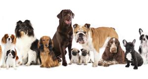 Evde Kolaylıkla Bakabileceğiniz Köpek Cinsleri