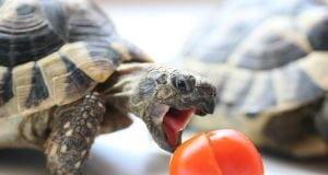 Evde Su Kaplumbağası Nasıl Bakılır?