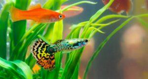 Akvaryum Balığı Nasıl Beslenir?